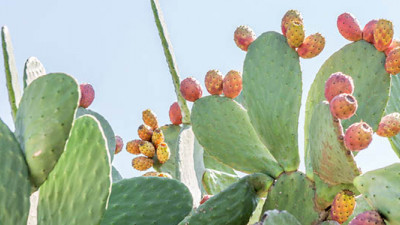 Trending: Cyborg Bugs, Prickly Pears Poised to Be Next Big Things in Renewables