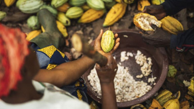 The Next Frontier for Fairtrade: Living Incomes in Cocoa