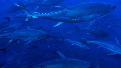 Largest Tuna Supplier in Western Pacific Agrees to Provide MSC-certified Tuna