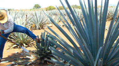 Scientists Looking to Agave, Other Succulents as Model for Engineering Drought-Resistant Plants