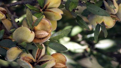 Study: Almond Industry on Its Way to Carbon Neutrality Through Byproduct Reuse, Irrigation Management