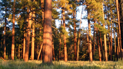 ASU, Nature Conservancy Study Highlights Economic Benefits of Forest Thinning