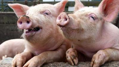North Carolina's Largest Bioenergy Plant Powered by Pigs