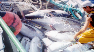 WWF to Fisheries: Catch 50% Less or Lose Pacific Bluefin Tuna Altogether