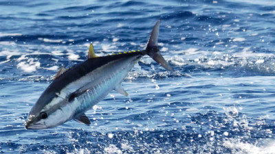 Commission Threatens Future of Tuna by Sidestepping WWF's Pleas to Limit Catch