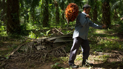 P&G Studying Smallholder Practices to Ensure Deforestation-Free Palm Oil