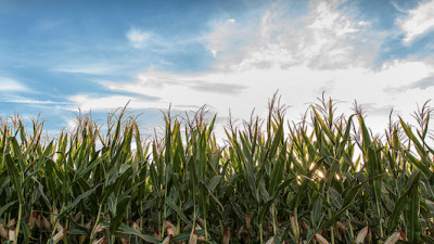 Novozymes, Monsanto Discover Microbes That Can Boost Corn and Soybean Yields