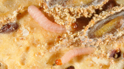 Pantry Pest Could Provide Potential Solution to Plastic Problem