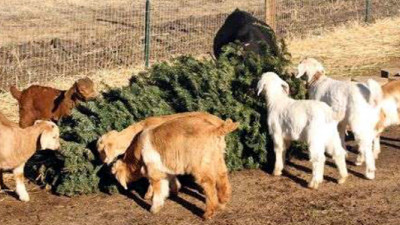 Latest Weapon in Battle to Reduce Christmas Tree Waste: Goats
