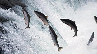 Walmart Considers Cutting Alaskan Salmon Processors After 40 Drop MSC Label