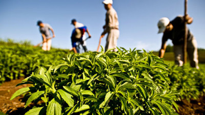Peruvian Stevia Farm Becomes World's First to Achieve Rainforest Alliance Certification