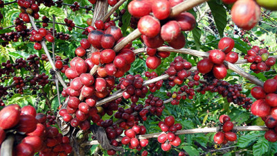 How Green Is Your Coffee? New PCR Standardizes GHG Calculation for Coffee Production