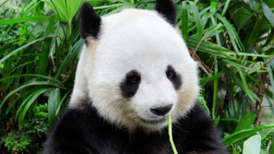 WWF China, South Pole Carbon and Climate Friendly support Panda habitat