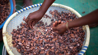 A Win for Cocoa Farmers and Forests: Ghana Grants First-Time Ownership of Timber Trees
